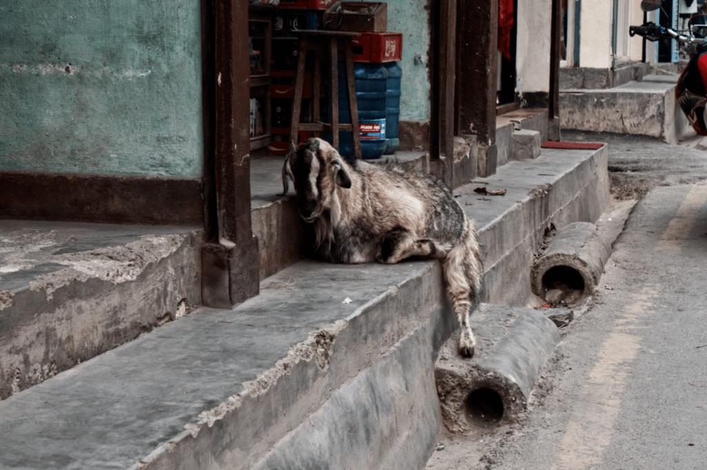 nepal_travelogue_animals_maugodudek